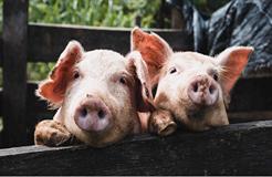 """互联网大厂养猪专利谁家强?阿里关心母猪生产,网易充满""""猪性关怀"""",但京东更强"""